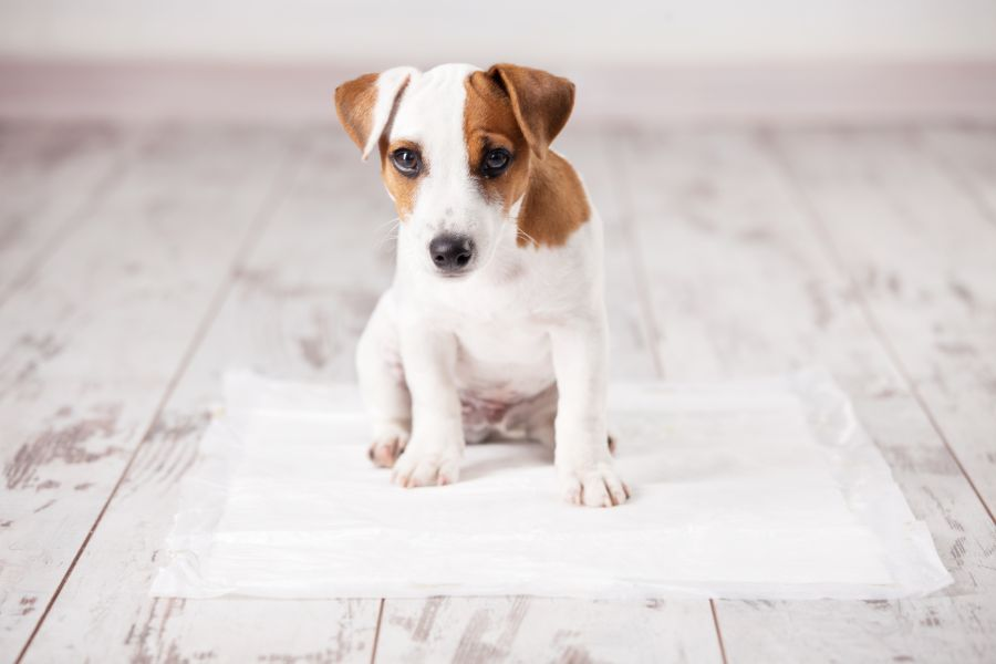 Housetraining El Doroado Hills Dog