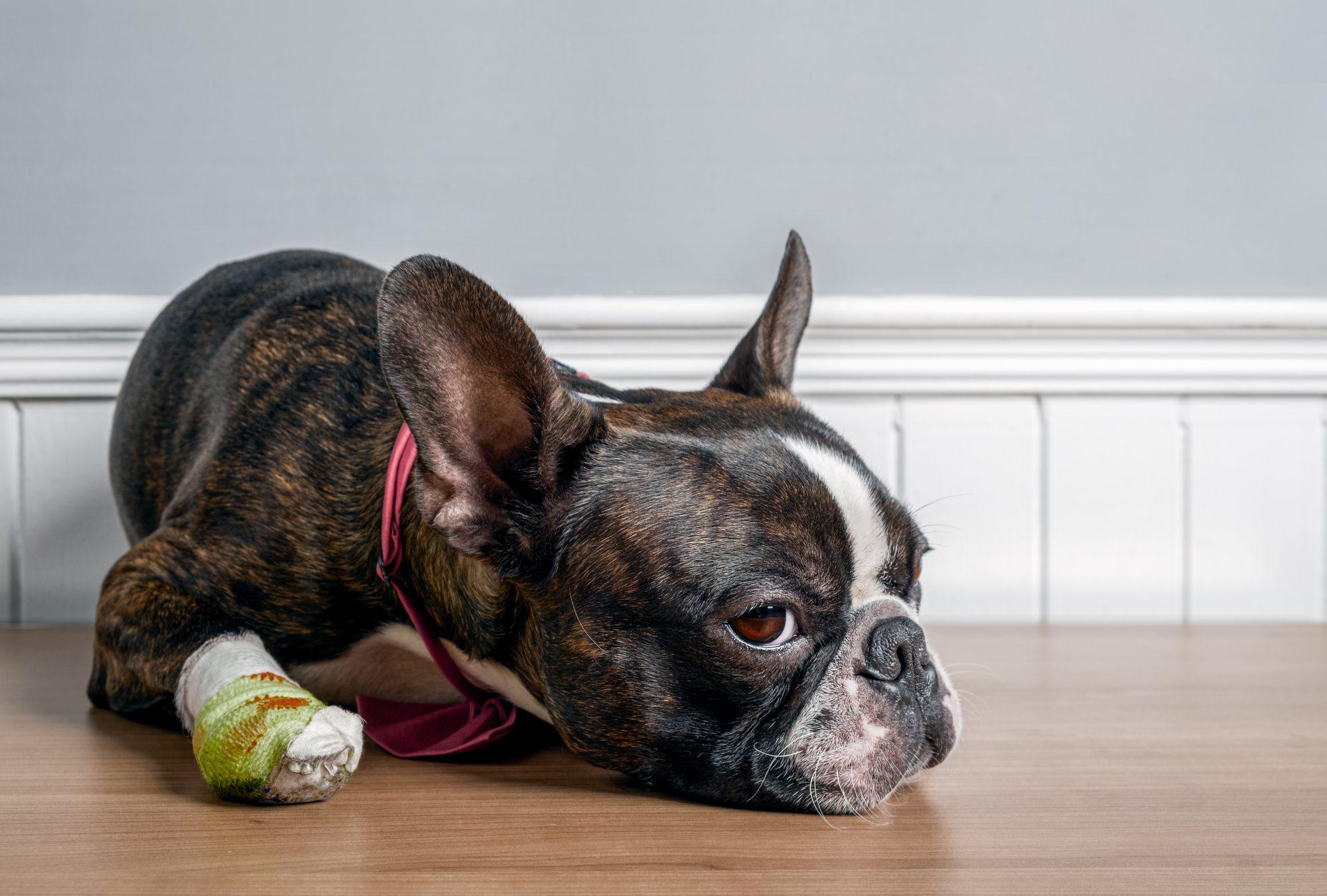A dog with a bandaged paw.